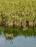 Rice. Plants growing in paddy fields, with a small pond in the foreground Royalty Free Stock Photos