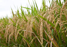 Rice. Young plants of rice in the field of the sun on a summer day Stock Photography