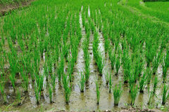 Rice. The image could be used in the sale of food,the recovery points rice plants are wet from the water Royalty Free Stock Images