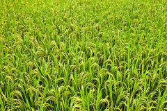 Rice. Golden rice in the farm Stock Photo