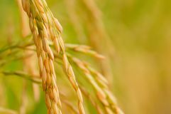 Free Rice Royalty Free Stock Images - 16589569