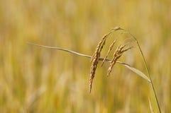 Free Rice Stock Image - 16894441