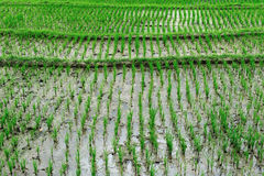 Rice 2 Royalty Free Stock Photography