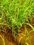 Rice 2 Stock Photos