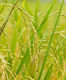 Rice. The rice ready for harvest royalty free stock images
