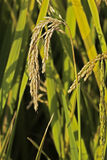 Rice. Ripe rice in the field Stock Images