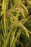 Rice. Ripe rice in the field Royalty Free Stock Images