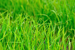 Rice. Growth of crops on the farm Stock Photo