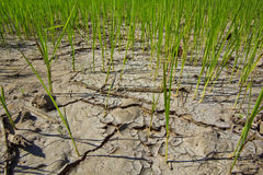 Rice. Planting rice in the dry season royalty free stock images