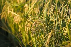 Rice. In maturity royalty free stock images