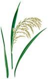 Rice. Fresh tuft over white Stock Photo