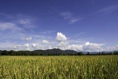 Rice Zdjęcie Stock