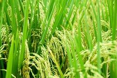 Rice 02 Obraz Stock