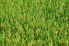 Rice. Cultivation in Asia is also very big in South China's main food Stock Photo