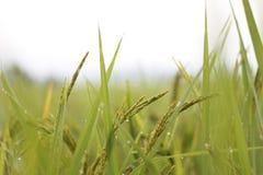 Rice Obraz Stock