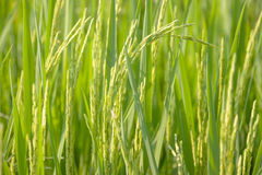 Free Rice Royalty Free Stock Images - 70618529