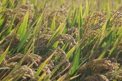 Rice. Maturity, harvest season Stock Photos