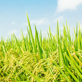Rice against blue sky. Stock Photo