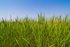Rice against blue sky Royalty Free Stock Photography
