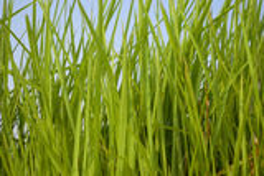 Rice. Against the blue sky in Thailand Stock Photos