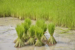 Rice agriculture preparation Stock Photo