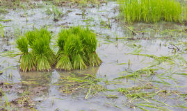 Rice agriculture preparation Royalty Free Stock Photo