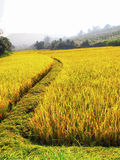 Rice. Agriculture of the rainy season Royalty Free Stock Images