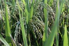 Rice is already ready for harvest Stock Photos