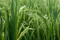 Rice Background. Selective focus on rice growing in a paddy. A lush, green and fertile background. Rice is a staple for a large part of the world's population stock image