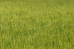 Rice background Stock Images