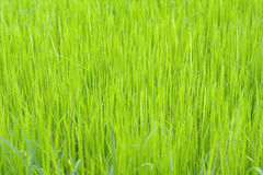 Rice background in the field. Stock Photography