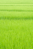 Rice background in the field. Stock Photos