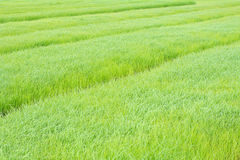 Rice background in the field. Royalty Free Stock Photography