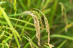 Rice in bad condition caused by insect and pest.  royalty free stock image