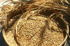 Rice in basket. Dry rice seed in basket Royalty Free Stock Photos