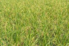 Rice berry in farm & x28;Thai black jasmine rice& x29; Royalty Free Stock Images