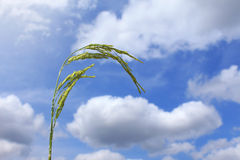 Rice with blue sky Royalty Free Stock Photo