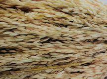 Rice bran. Rice along with the paddy straight from the fields Stock Images