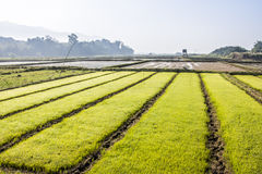 Rice breeding field Stock Photo