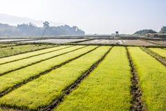 Rice breeding field Stock Photo
