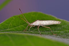 Rice bug Stock Images