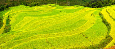 Rice Carpeting on plateaus. Carpeting rice on terraced plateau with the bright yellow of the coming wheat harvest looks like tapestry spanning wide royalty free stock photo