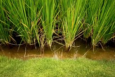 Rice, cereal plant. Main agriculture in thailand stock photography