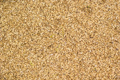 Rice chaff background. Rice chaff paddy husk background Royalty Free Stock Photo