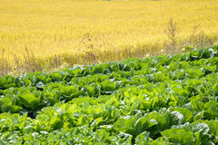Rice and chinese cabbage field Royalty Free Stock Images