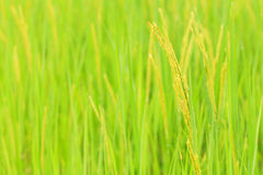 Rice Close Up Royalty Free Stock Photography