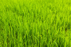 Rice close up, India Royalty Free Stock Image