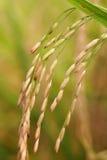 Rice, Closeup Stock Images