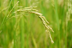Rice Closeup II Royalty Free Stock Image