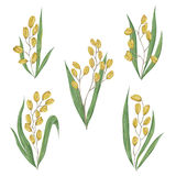 Rice collection. Grains, leaves and ears of rice on a white background. Stock Photography